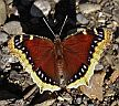 A Mourning Cloak butterfly. (photo: G. Frederick)