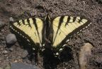 Parnassians and Swallowtails
