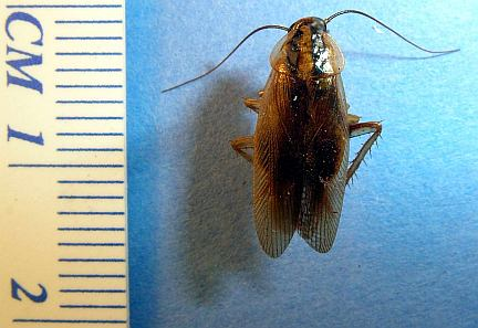 Common Name:German Cockroach.  Photo 1. Location: Calgary, AB Date: Aug.