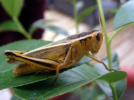 Two-striped Grasshopper - Adult Female