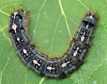 Forest Tent Caterpillar - mature larva