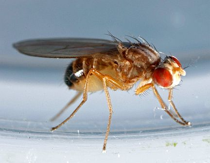 Adult Fruit Fly