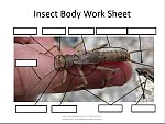 Insect Body Worksheet